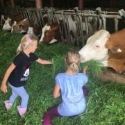 Kühe füttern